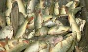 Người dân Lào Cai vớt 6 tấn cá chết bất thường trong ao