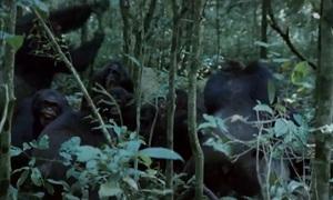 Đàn tinh tinh Uganda hợp sức vây bắt và giết khỉ