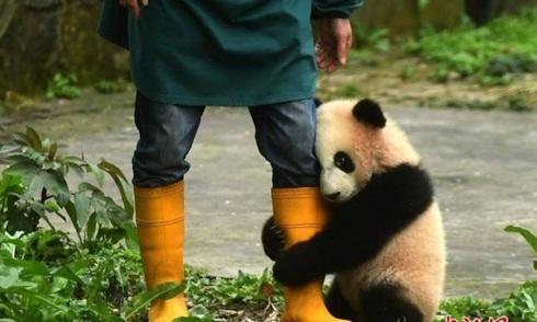 Gấu trúc ngượng nghịu ôm chân nhân viên sở thú