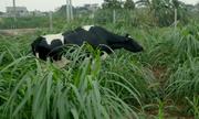 Quy trình nuôi bò sữa '5 không' của nông dân Hà Nam