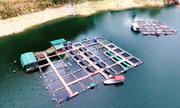 Hơn 500 hộ nuôi cá lồng trên lòng hồ thủy điện Na Hang
