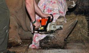 Vườn thú Séc cưa sừng 18 con tê giác hiếm để chống săn trộm