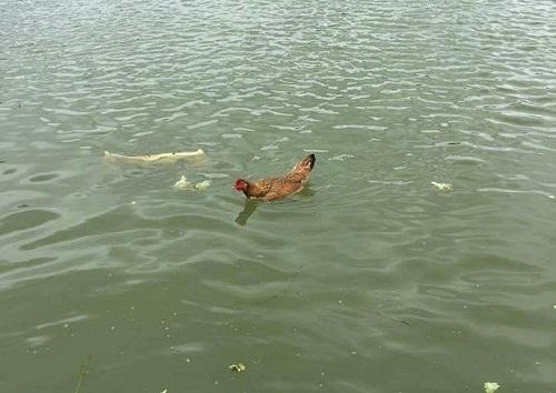 Gà biết bơi.