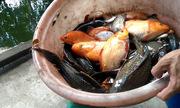 Bắt cá trời cho bằng bẫy zíc zắc trên kênh Sài Gòn