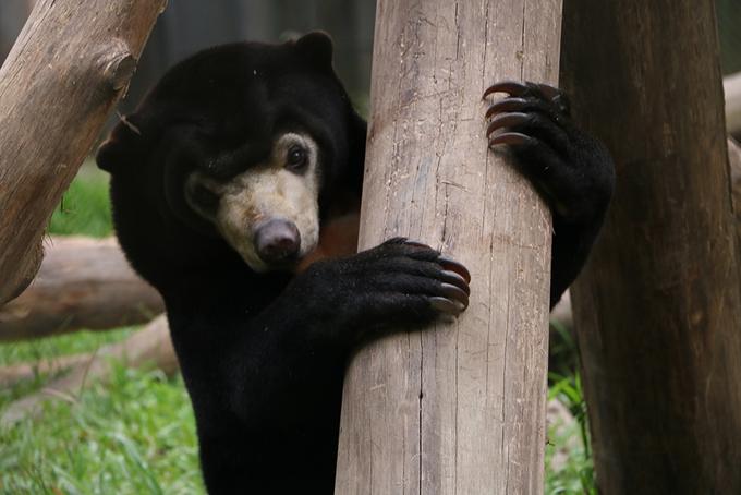 Gấu con thích ăn vạ 'mẹ nuôi' ở trung tâm cứu hộ