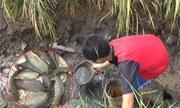 Video cá rô mắc cạn nhặt mỏi tay ở miền Tây xem nhiều tuần qua