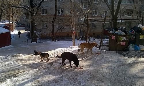 Chó hoang ở Khabarovsk, đông nam nước Nga. Ảnh: Siberian Times