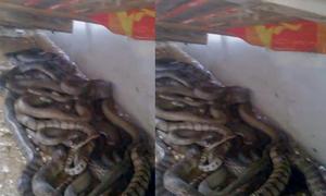Video hàng chục con rắn hổ vện cuộn tròn dưới mái tôn xem nhiều tuần qua
