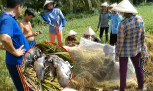 Nông dân dùng bẫy cá để bắt chuột khi gặt lúa