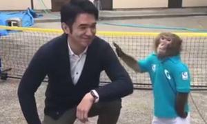 Khỉ Nhật Bản chơi tennis cừ khôi gây sốt mạng xã hội
