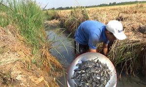 Video bắt trăm con cá 'trời cho' dưới gốc rạ xem nhiều tuần qua