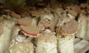 Quảng Bình cung cấp hơn 80 tấn nấm sạch mỗi năm