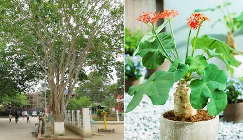 Ngô đồng được trồng trong sân trường ở Nghệ An có tênHura crepitans. Còn ngô đồng cảnhJatropha podagrica