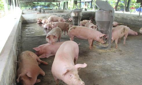 Giá thịt lợn 'rẻ nhất thế giới', Bộ Nông nghiệp nhờ cậy doanh nghiệp