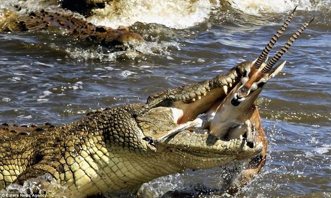 Cá sấu khổng lồ đớp trọn linh dương trên khúc sông tử thần
