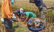 Video chuột chạy như vịt, nông dân bắt được cả trăm con xem nhiều tuần qua