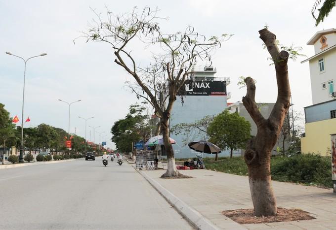 Hải Phòng cắt trụi hàng loạt cây xanh trên đường hoa phượng