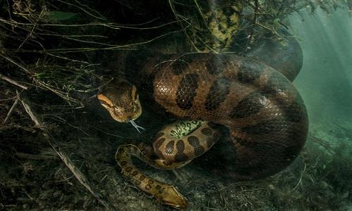 tran-anaconda-cai-giet-chet-con-duc-sau-khi-giao-phoi