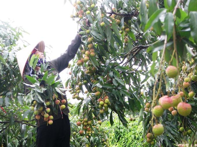 Người dân Quảng Ninh hối hả thu hoạch vải lai chín sớm