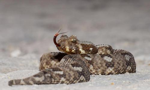 Một cá thể rắn Albany Adder. Ảnh: