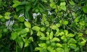 800 ha chanh không hạt đạt tiêu chuẩn xuất khẩu tại Hậu Giang