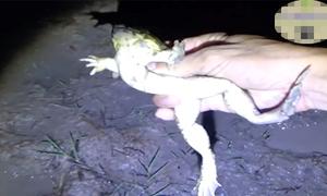 'Nhặt' hàng chục con ếch sau cơn mưa đầu mùa ở miền Tây