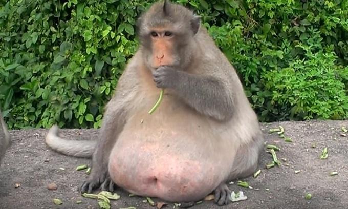 Khỉ béo tròn ở Thái Lan bắt đầu ăn kiêng giảm cân