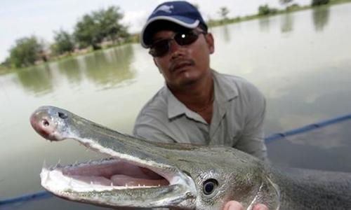 Con cá với phần thân dài như rắn và phần đầu giống cá sấu. Ảnh: Toutiao
