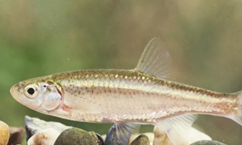 Con đực loài cá này có khả năng nhân bản vô tính. Ảnh: Verge