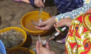 Bơm thạch rau câu vào tôm để tăng trọng lượng ở Bạc Liêu