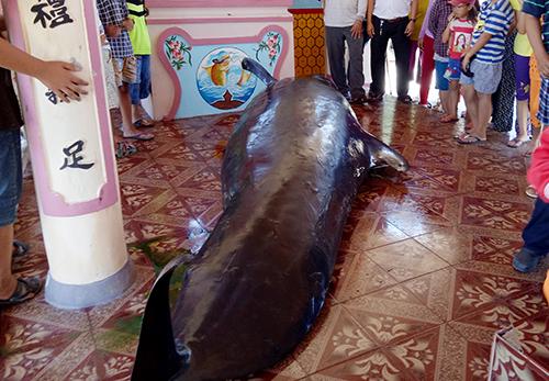 Cá nặng hơn một tấn, dài gần 5,5 m được ngư dân Phú Yên đưa vào bờ an táng. Ảnh: An Phước