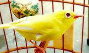 Những con chim kỳ lạ giá hàng nghìn đôla của dân chơi Việt