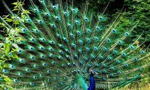 Nuôi chim khổng tước kiếm tiền tỷ mỗi năm
