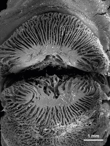 Cặp môi tử thần của loài cá ăn thịt san hô. Ảnh: Reuters