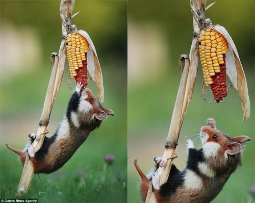 Bữa ăn ngô khiến chuột đồng trả giá bằng những pha ngã khó đỡ.