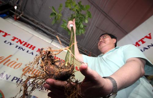 Ảnh 1: Tại hội chợ củ sâm nặng hơn 4 lạng, 6 nhánh, trên 10 năm tuổi được mua 120 triệu đồng. Ảnh: Đắc Thành