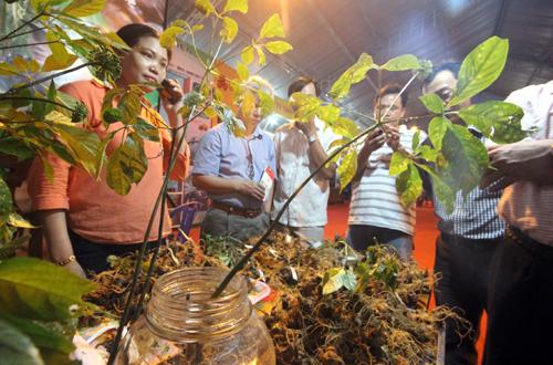 Ảnh 2: Sâm Ngọc Linh bày bán tại hội chợ thu hút khách mua. Ảnh: Đắc Thành