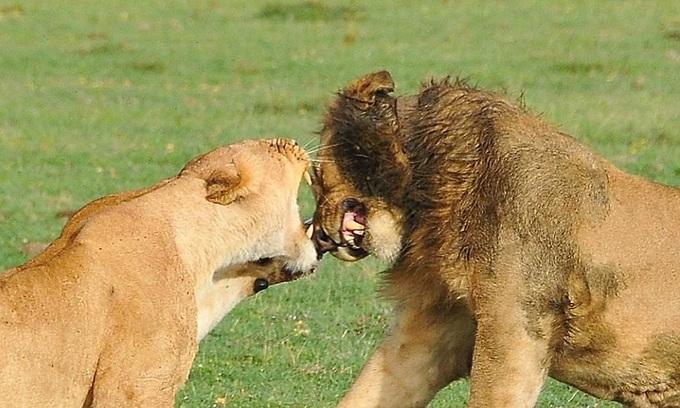 Bám theo gạ giao phối, sư tử đực bị bạn tình cắn vào mặt