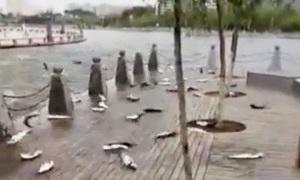 Hàng trăm cá mè tự sát tập thể vì một cuộc thi hát