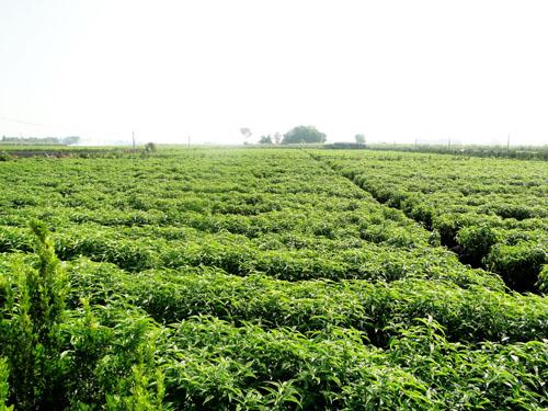 Cánh đồng cây trà hoàn ngọc tại Tây Ninh. Ảnh: Doanh nghiệp Hoàn Ngọc 7 Nga.