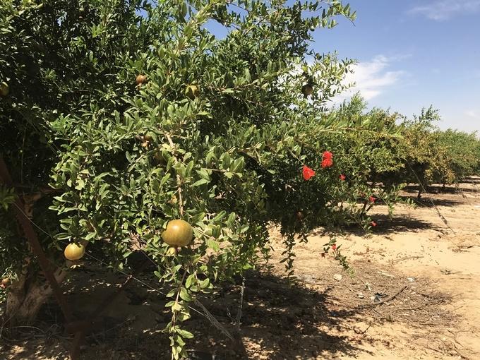 Nông trường Israel thu triệu USD nhờ hồ chứa trên sa mạc