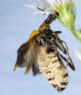 Xác bọ cánh cứng treo trên bông hoa để tăng cơ hội phát tán bào tử nấm. Ảnh: Giáo sư Steinkraus