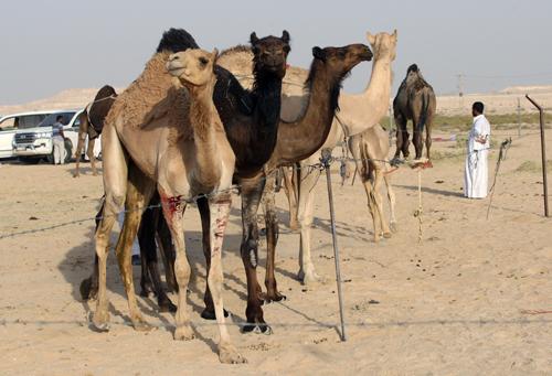 Lạc đà vượt qua biên giới ở vùng sa mạc hẻo lánh của Saudi Arabia vào Qatar ngày 20/6. Ảnh: Reuters.