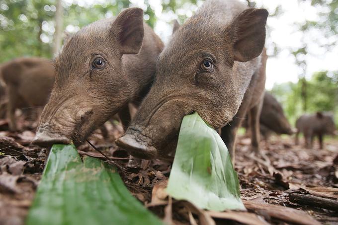 Thầy giáo Mường nuôi lợn bán hoang dã thu 800 triệu mỗi năm