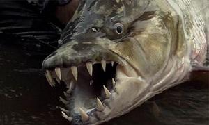 Cá hổ có hàm răng như dao cạo sa lưới