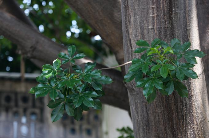 Cây bao báp lâu đời nhất Sài Gòn vào mùa nở hoa