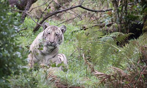 Con hổ Bengal có màu lông lạ được phát hiện tại khu dự trữ sinh quyển Nilgiri, Ấn Độ. Ảnh: Nilanjan Ray.