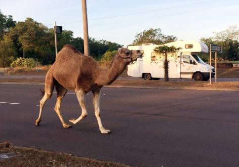 Con lạc đà bổ trốn bước đi trên bố Bagot, Australia. Ảnh: Meng-Hsuan Lee.