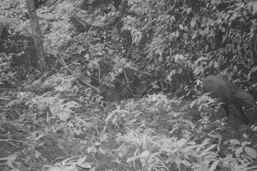 ới đây, một cá thể sao la đã được phát hiện và chụp ảnh ở Quảng Nam, sau 15 năm kể từ lần cuối cùng loài này được nhìn thấy trong tự nhiên. Hình ảnh một con sao la đang di chuyển dọc con suối ở một thung lũng nhỏ được ghi lại hôm 7/9 qua camera do Quỹ Bảo vệ Thiên nhiên Quốc tế (WWF) và Chi cục Kiểm lâm tỉnh Quảng Nam lắp đặt tại khu vực hẻo lánh thuộc dãy Trường Sơn. Ảnh: WWF