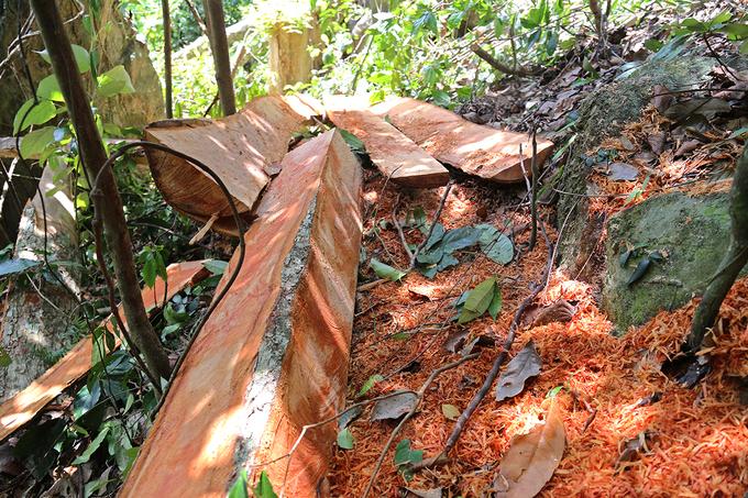 Cây rừng bị chặt hạ, xẻ phách ở Quảng Trị